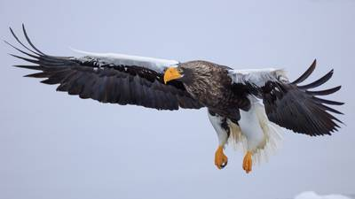 Steller's sea eagle escapes from Pittsburgh's National Aviary