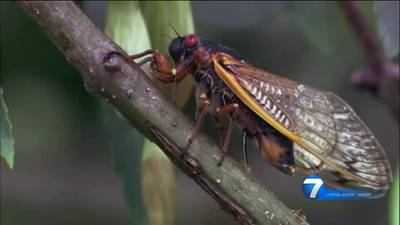 Cicada watch: Billions could emerge as temperatures keep climbing